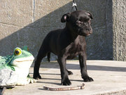 STAFFORDSHIRE BULL TERRIER - PUPIES
